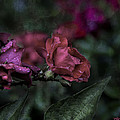 Rose In The Rain by Evie Carrier