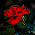Rose Is A Rose by Robert Bales