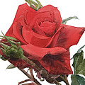 Watercolor Of A Single Red Rose On A Stem With Buds I Call Rose Jake by Greta Corens