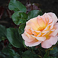 Rose by Jlt Photography