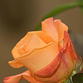 Rose by Karen Swartz Photography
