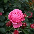 Rose Love by Christiane Schulze Art And Photography