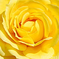 Rose by Luis Alvarenga