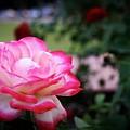 Rose by Luisa Garcia