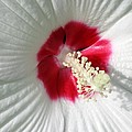Rose Mallow - Honeymoon White With Eye 01 by Pamela Critchlow