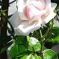 Rose Named Pearl by Sonali Gangane