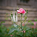Rose Of Independence by Linda Unger