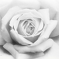Rose Of Innocence by Georgiana Romanovna