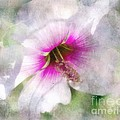 Rose Of Sharon by Barbara Chichester