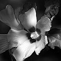 Rose Of Sharon by Donna Kennedy