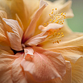 Rose Of Sharon. Hibiscus by Jenny Rainbow