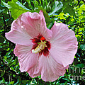 Rose Of Sharon by William Norton