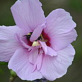 Rose Of Sharon With Bee by Maria Urso