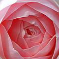 Rose Opening by Susan Bloom