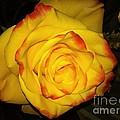 Rose Passion Yellow Impression by Saundra Myles