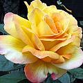 Rose Peace by Helene U Taylor