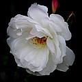 Rose Perfection by Kathy Sampson