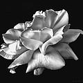 Rose Petals In Black And White by Jennie Marie Schell