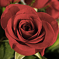 Rose by Photographic Arts And Design Studio