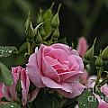Rose Pictures 328 by World Wildlife Photography