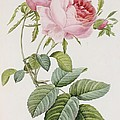 Rose by Pierre Joesph Redoute