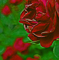 Rose Red By Jrr by First Star Art