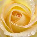 Rose by Rachel Down