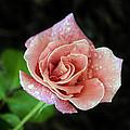 Rose by Robert Graybeal