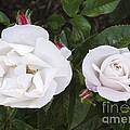 Rose (rosa 'pearl Drift') by Neil Joy