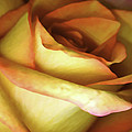 Rose Scan Softened by Paul Shefferly