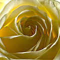 White Rose  by Scott Carruthers