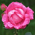 Rose Showers by Loretta Pokorny