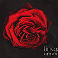 Red Rose On Black by Tom Conway