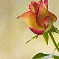 Rose by Veikko Suikkanen