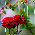 Rose Water Drops by Augusta Stylianou