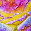 Rose With Dew Drops In Candy Colors by Lilia D