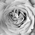 Rose With Heart B W by Connie Fox