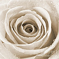 Rose With Water Droplets - Sepia by Natalie Kinnear
