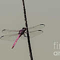 Roseate Skimmer Dragonfly by Donna Brown