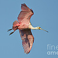 Roseate Spoonbill by Anthony Mercieca