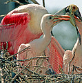 Roseate Spoonbill Feeding Young At Nest by Millard H. Sharp