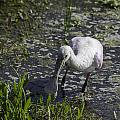 Roseate Spoonbill I by Susan Molnar