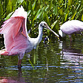 Roseate Spoonbill No.2 by John Greco