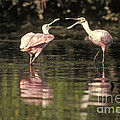 Roseate Spoonbill by Ron Sanford