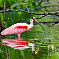 Roseate Spoonbill Wading by Anthony Mercieca