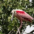 Roseate Spoonbill  What Are You Looking At 2 by Gregory Daley  MPSA