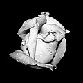 Rosebud In Black And White by Judy Hall-Folde