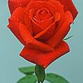 Rosebud by Joan Powell