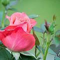 Rosebud by Linda Kerkau