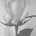Rosebud Sketch No 1 by Mary Deal